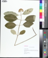 Image of Asclepias variegata