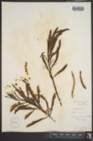 Acacia salicina image