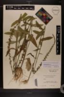 Lobelia spicata image