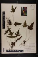 Image of Tectaria minima