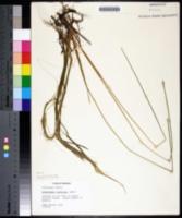 Eleocharis robbinsii image