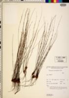 Image of Pteris platyzomopsis