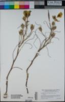 Calochortus clavatus image