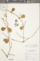 Struthanthus orbicularis image