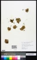 Image of Erophila verna