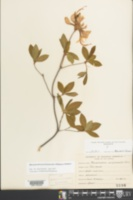 Rhododendron periclymenoides image