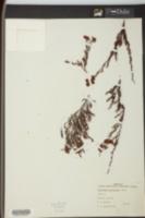 Image of Dentoceras myriophylla