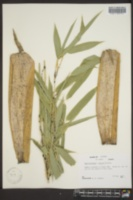 Image of Phyllostachys decora