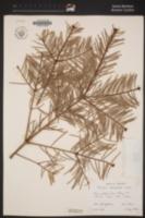 Abies concolor image