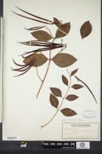 Apocynum androsaemifolium image