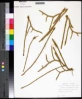 Lycopodium chapmanii image