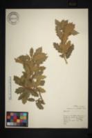 Image of Quercus x undulata