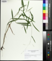 Leersia virginica image