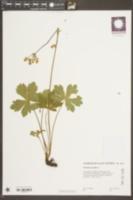 Sanicula europaea image