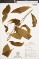 Diplopterys cabrerana image