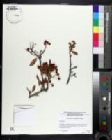 Pyracantha crenulata image