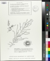 Image of Salsola vermiculata