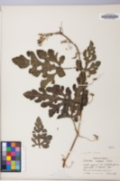 Image of Citrullus caffer