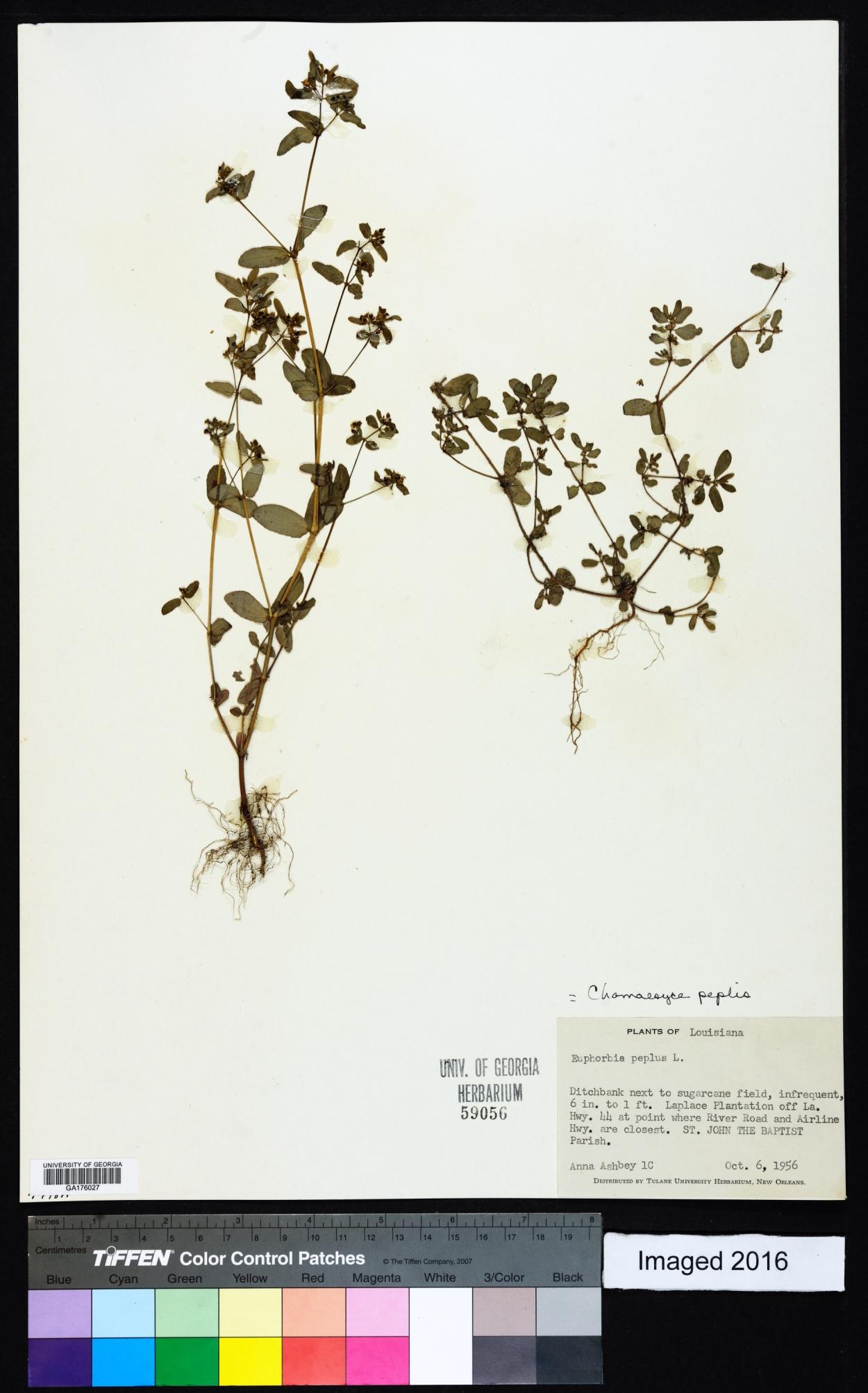 Chamaesyce peplis image