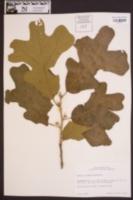 Quercus stellata image