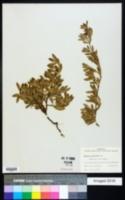 Ernodea littoralis image