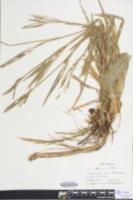 Carex albursina image