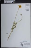 Coreopsis nuecensis image