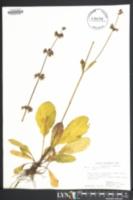 Salvia lyrata image