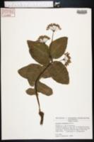 Asclepias humistrata image