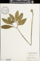 Arisaema dracontium image