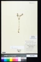 Euphorbia exserta image