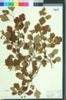 Image of Crataegus laevigata