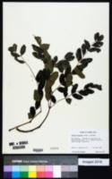 Albizia procera image