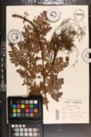 Triplophyllum speciosum image