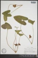 Image of Asarum speciosum