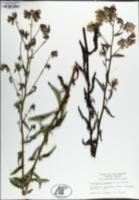 Nabalus barbatus image