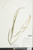 Brachypodium sylvaticum image