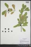 Chrysophyllum oliviforme image