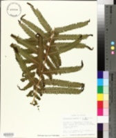 Image of Thelypteris grandis