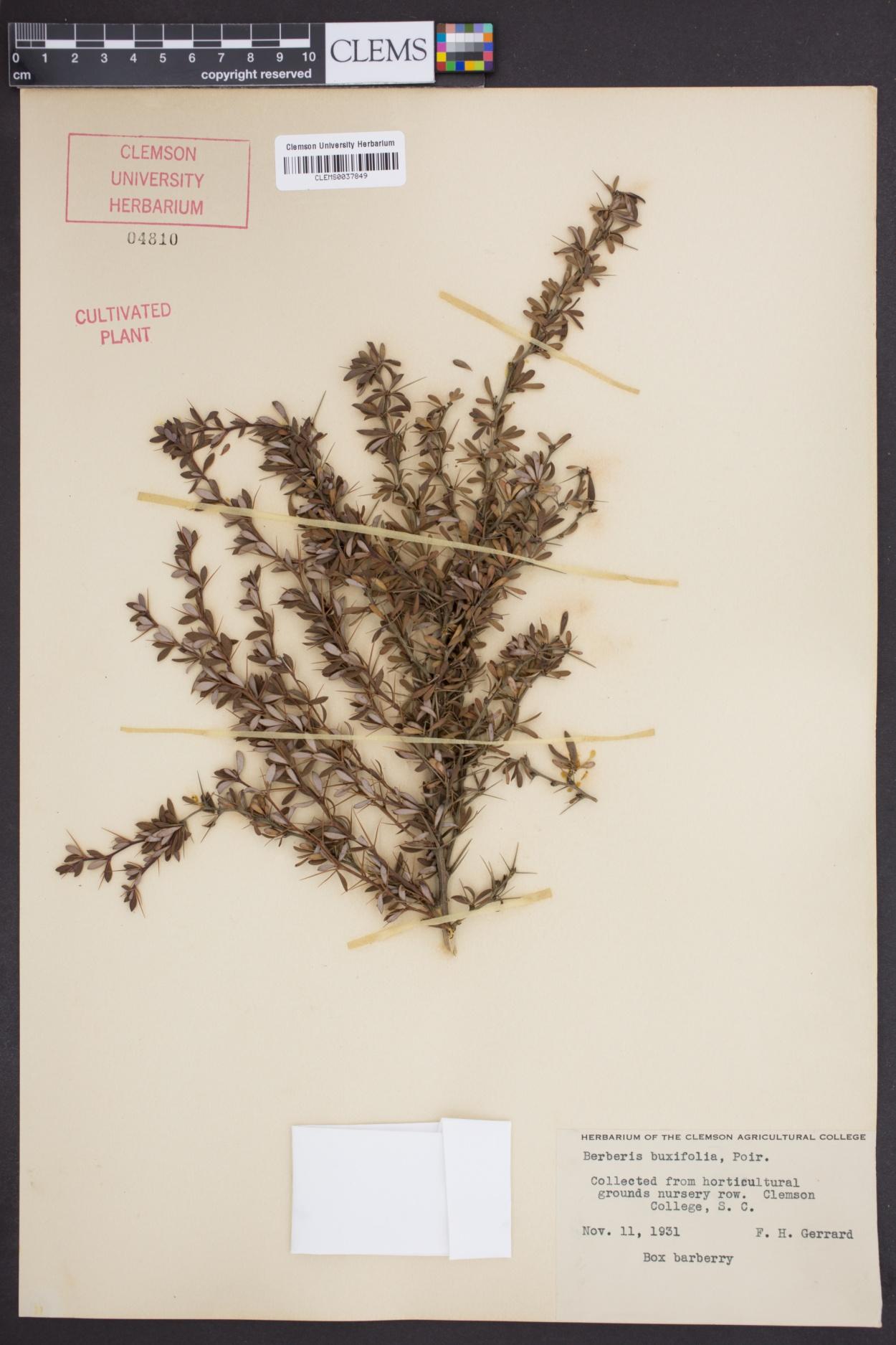 Berberis buxifolia image