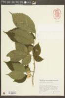 Ulmus glabra image