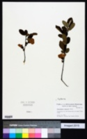 Cydonia japonica image