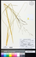Coleataenia abscissa image