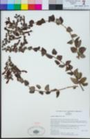 Keckiella cordifolia image
