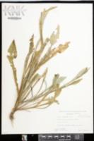 Image of Ammobium alatum