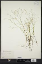 Linum catharticum image