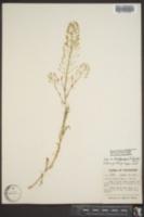 Descurainia brachycarpa image