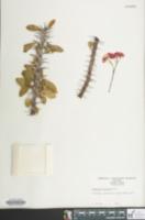 Image of Euphorbia splendens
