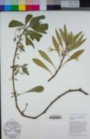 Ludwigia hexapetala image