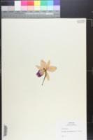Image of Guarianthe bowringiana